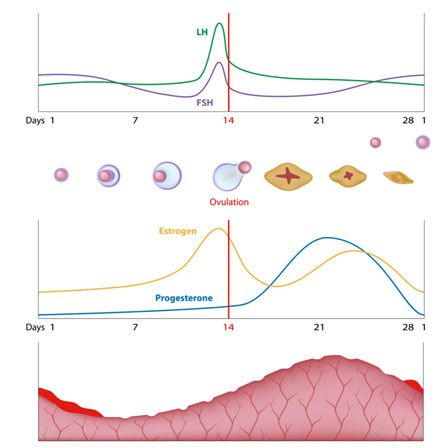 reduzierte Mengen an Progesteron