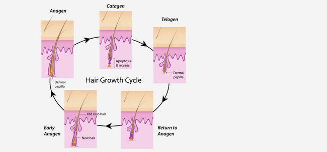 3 Phasen des Haarwuchszyklus Foto
