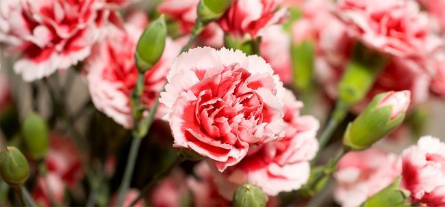 7 Schönsten Carnation Blumen Foto