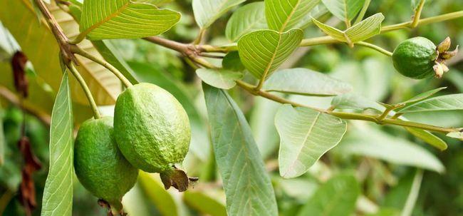 Wie sind Guava Blätter von Vorteil für Ihr Haar? Foto