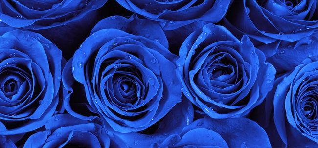 Top 10 Most Beautiful Blue Roses Foto
