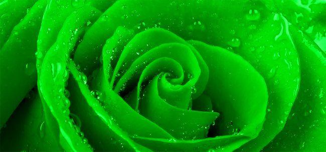 Top 10 Most Beautiful grüne Rosen Foto