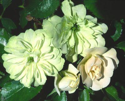 Grün Ice Rose