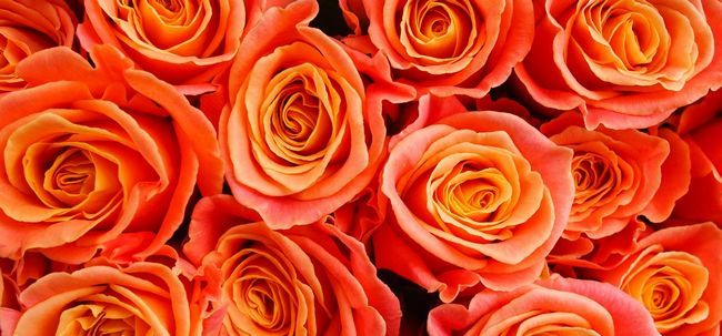 Top 10 Most Beautiful orange Rosen Foto