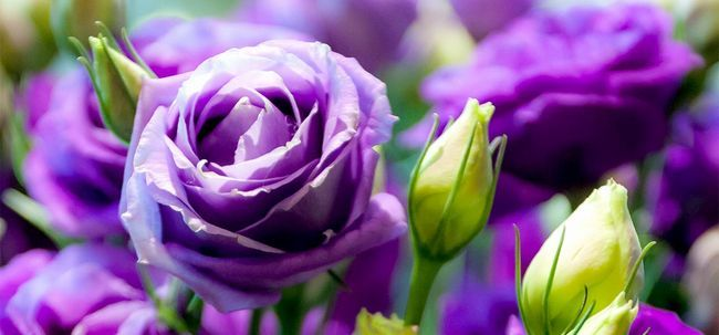 Top 10 Most Beautiful lila Rosen Foto