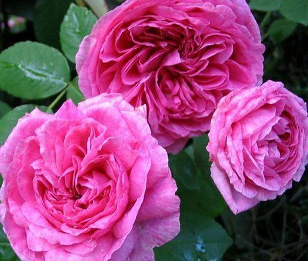 Prinzessin Anne Rose