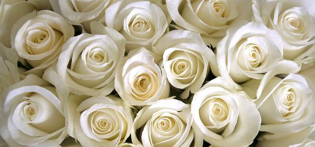 Top 10 Most Beautiful White Roses Foto