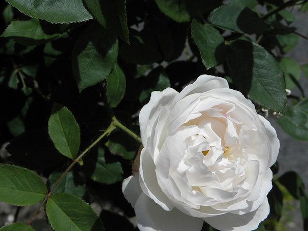 Wollerton Old Hall Rose