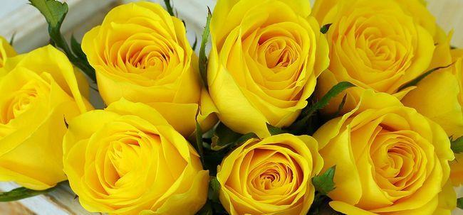 Top 10 Most Beautiful gelbe Rosen Foto