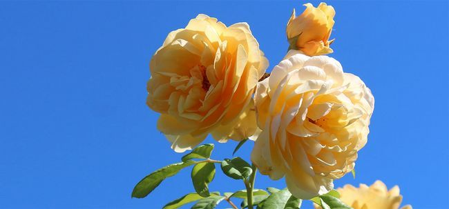 Top 15 Most Beautiful Rose Blumen Foto