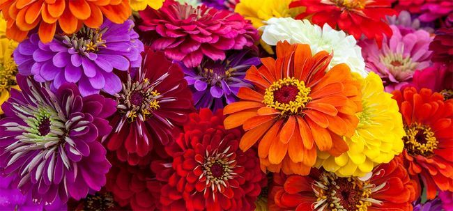 Top 15 Most Beautiful Zinnia Blumen Foto